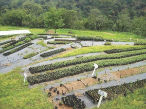 Rehabilitated terraces at the Mount Airy tree nursery.