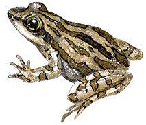Western Chorus Frog. Image: Toronto Zoo.