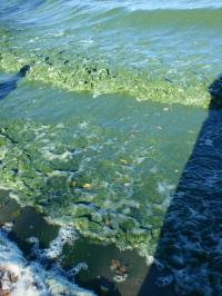Algal blooms in Lake Killarney, Manitoba. Image: Diane Orihel.