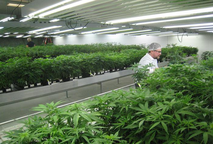 Cannabis grow room